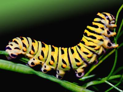 the name for the caterpillar larva of Galleria mellonella,