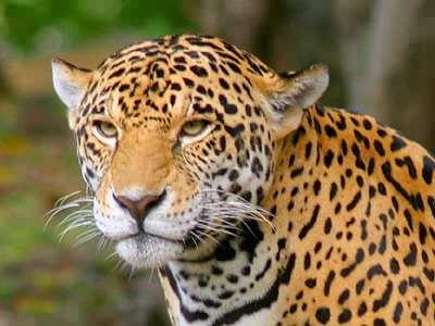 jaguar jigsaw puzzle jigzone com