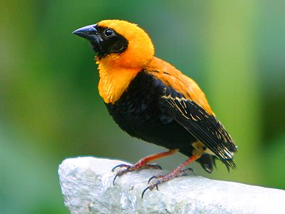 Orange finch birds - photo#19