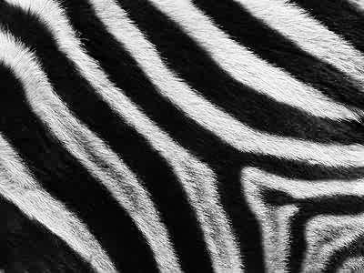 Zebra Stripes Jigsaw Puzzle - JigZone.com