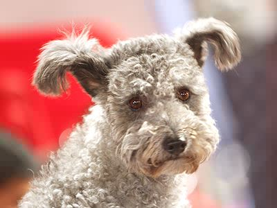 curly tailed dogs dog breeds picture