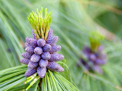 pine hindu personals Tree symbolism and tree meanings are prominent in every culture and religion see our extensive, illustrated list of tree symbolism and detailed information about the.
