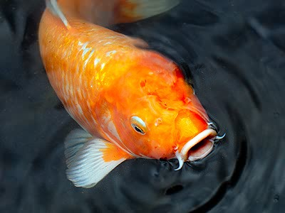 Image gallery orange koi carp for Orange koi carp