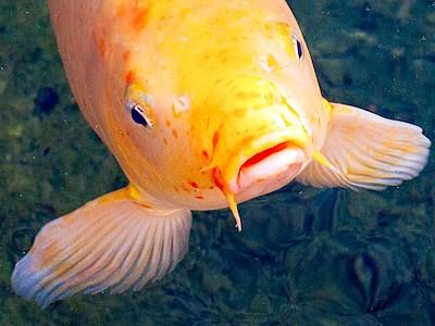 Daily jigsaw puzzle 2014 12 16 koi fish orange 100 piece for Orange koi fish meaning